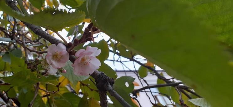 """Квітучий листопад: У Мукачеві зацвіла """"ш…"""