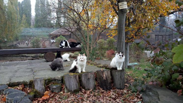 Як зграя відгодованих котів проводить ос…