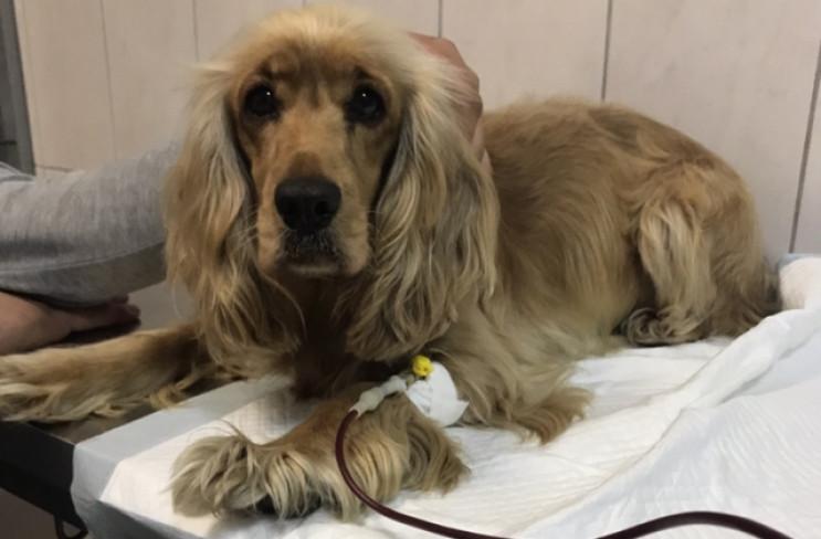 Львову бракує донорів крові для собак…