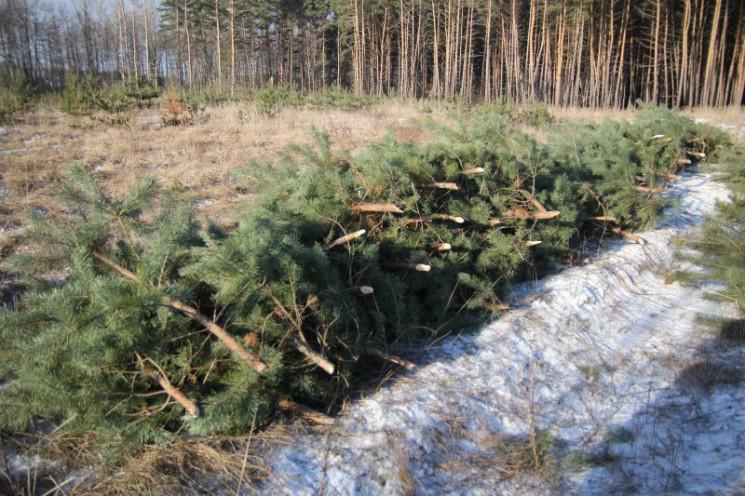 Свято наближається: Ялинки на Харківщині…