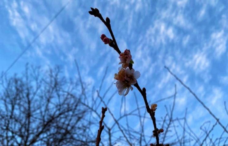 """Ще цвіте: Шалена сакура в Мукачеві """"трим…"""