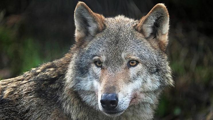 По Києву блукає домашній вовк: 12-річний…