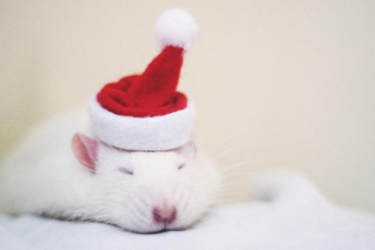 Символ 2020: Наймиліші фото щурів для но…