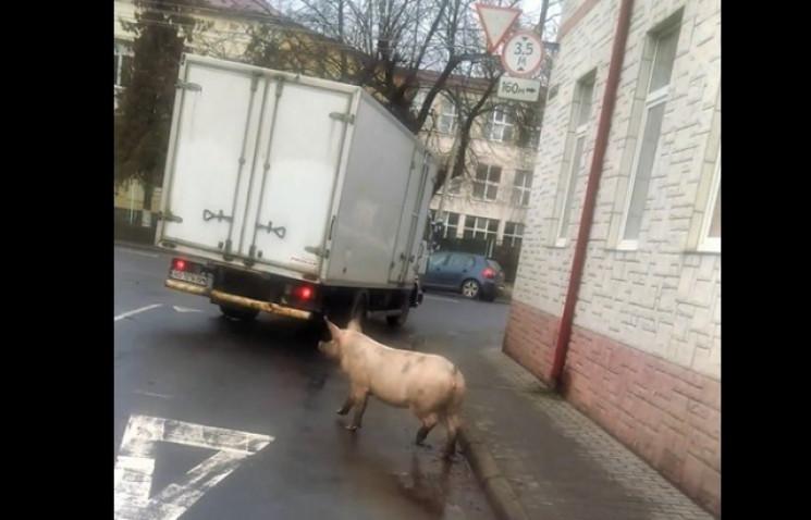 У Мукачеві посеред міста бігала свиня…