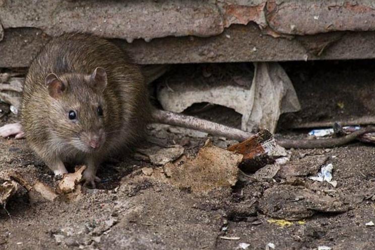 У Львові вгодований щур напав на кота, а…