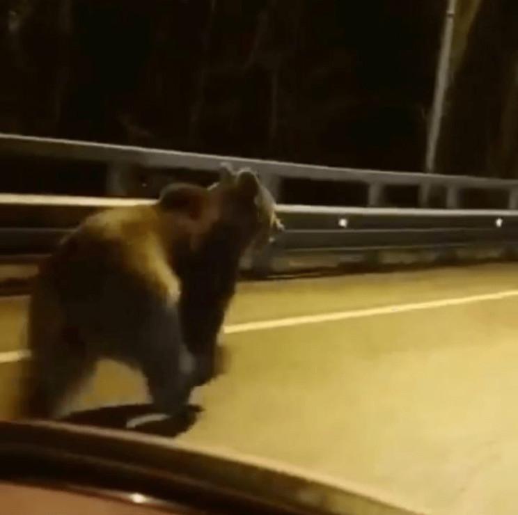По трасі Сочі бігав ведмідь…