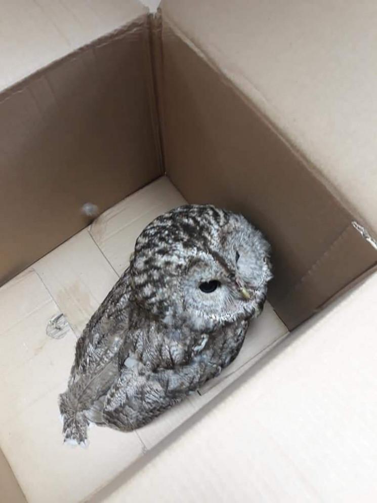 Кропивницькі волонтери врятували сову з…