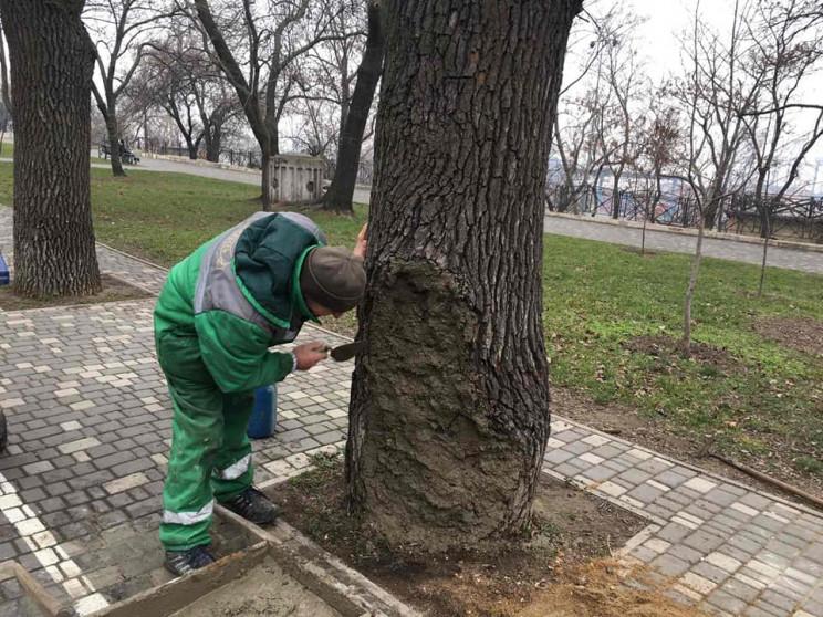 У парку Шевченка рятують 80-річний дуб,…