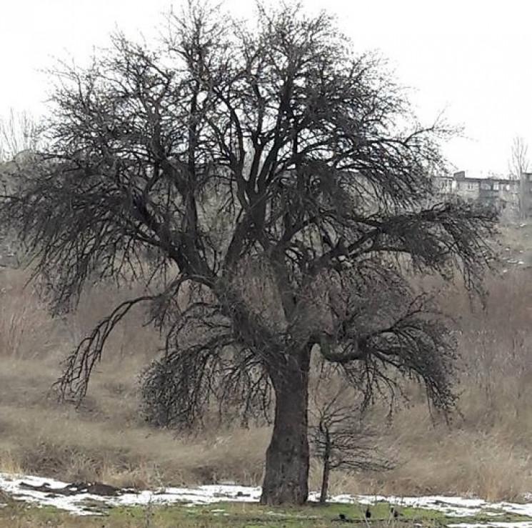 У Запоріжжі 200-річна Тарасова груша опи…