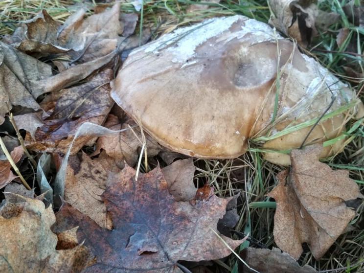 """Закарпатці хизуються """"січневими"""" грибами…"""