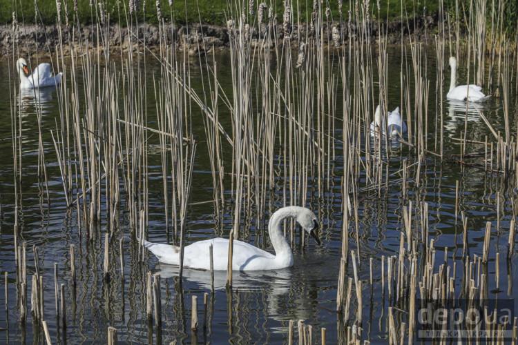 Лебеді у Межигір'ї