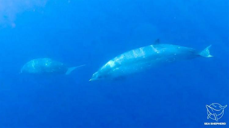 Дзьобаті кити
