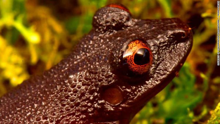 Дияволока жаба