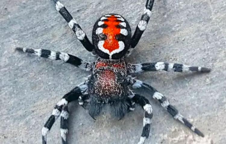 Loureedia Phoenixi Spider - паук Джокер